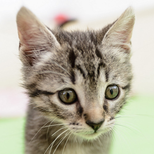 Bonnie, gatita parda monísima y muy lista esterilizada, nacida en Marzo´18, en adopción. Valencia. 42208477841_2e37907ffc