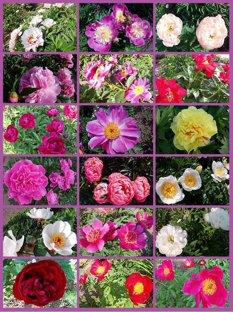 Lehr- und Schaugarten Lorsch ... Päoniengarten bei der evangelischen Kirche ... Pfingstrosen ... Blüte ... Fotos und Collage: Tanja M