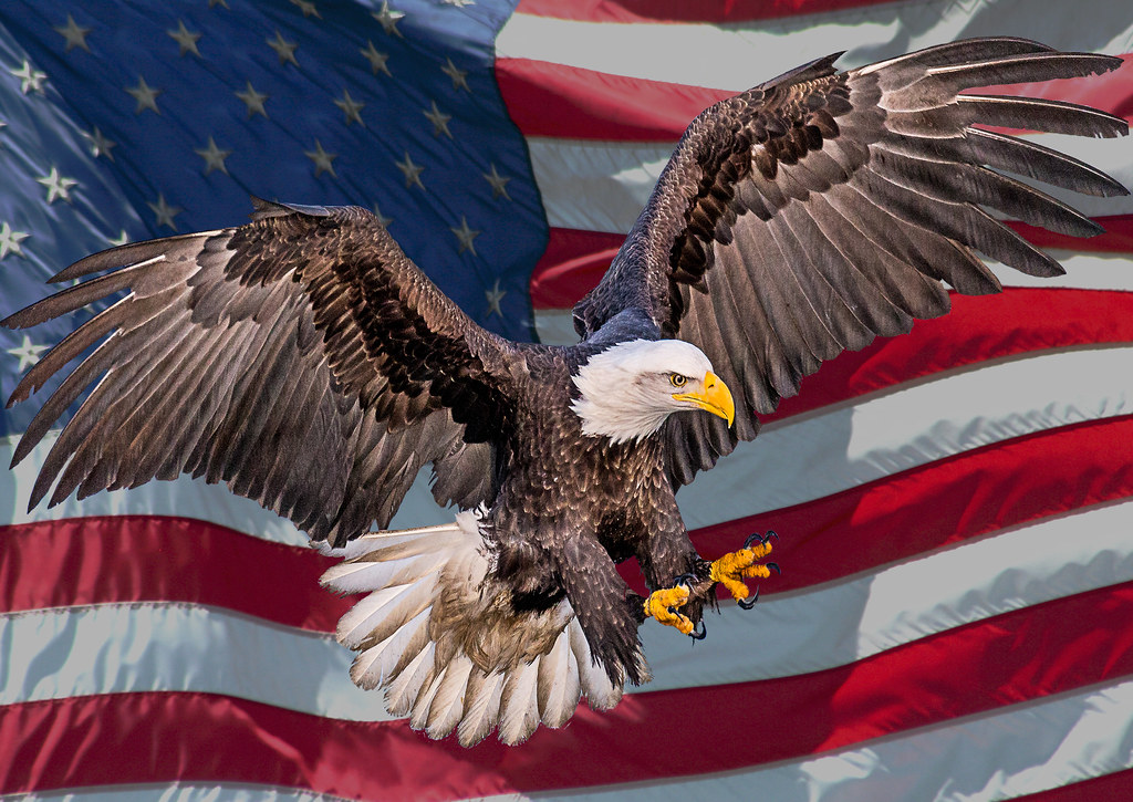 USA Bald Eagle | For my American Friends | Andy Morffew ...