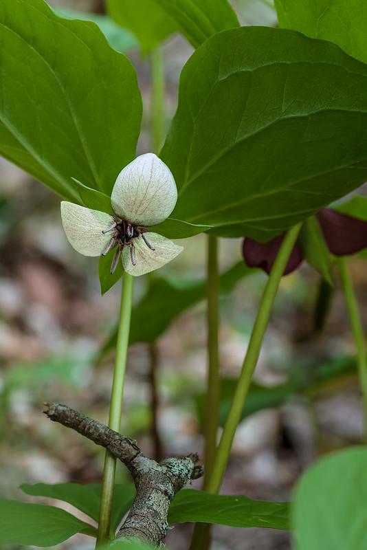 Trillium hybrid