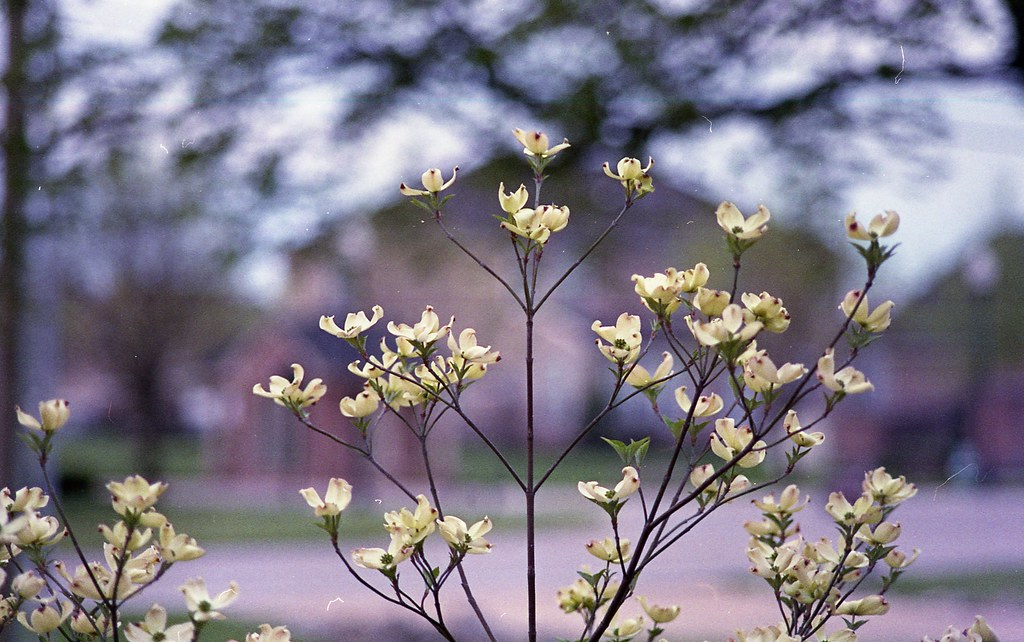Picked a Bouquet of Dogwood Flowers | Pentax ME Super, SMC P… | Flickr