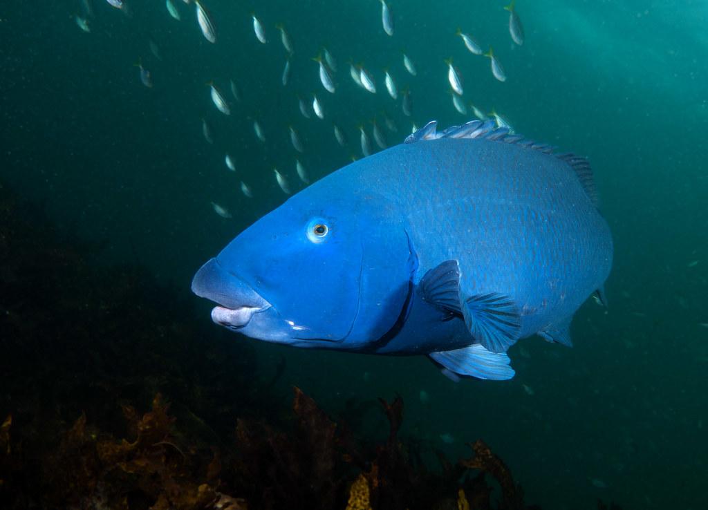 State Emblem - Blue groper - Achoerodus viridis #marineexp ...