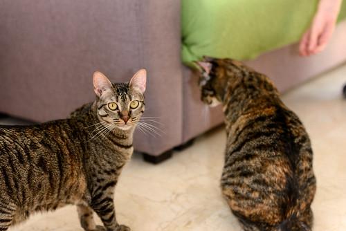 Muriel, gatita atigrada parda tímida y dulce esterilizada, de ojos cobrizos, nacida en Abril´16, en adopción. Valencia. 42229192961_56f78d0536