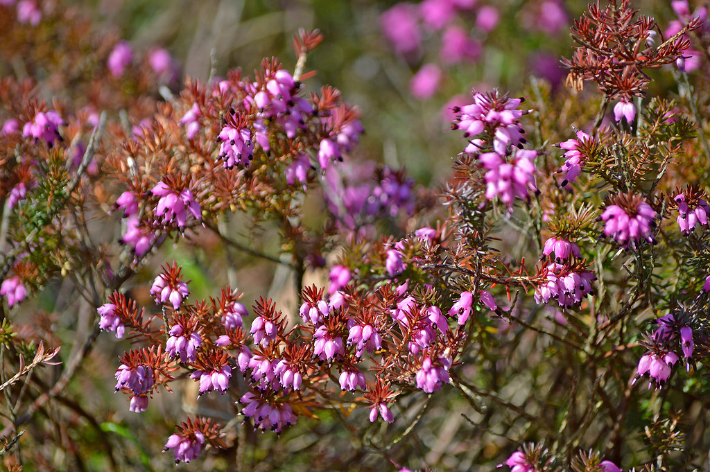 Beautiful spring 2018 winter flowering heather finla flickr winter flowering heather finland helsinki by mightylinksfo