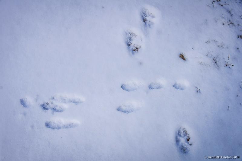 Huellas de liebre y de perro sobre la nieve
