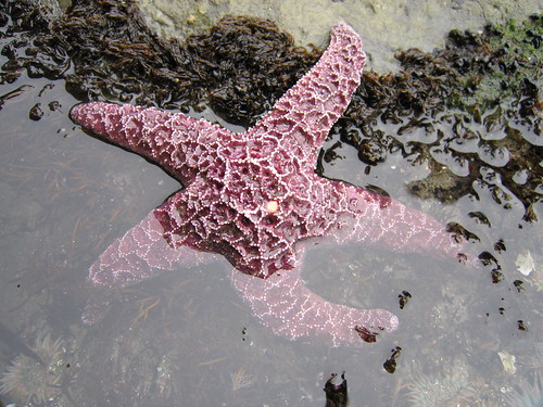 Pisaster ochraceus - purple sea star