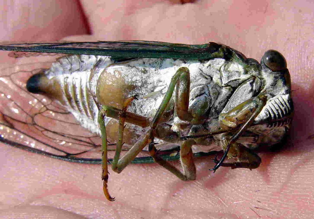 Dog Day Cicada Scientific Name