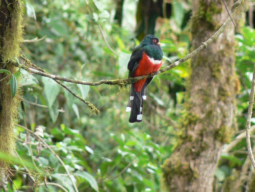 Masked Trogon at Bellavista Cloud Forest | by ARKNTINA