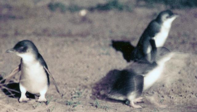 Phillip Island Penguins Jobs