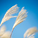 Whispy Winds Move Ornamental Grass