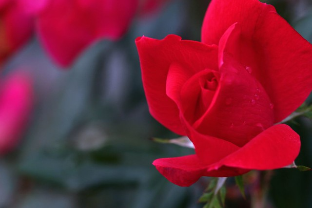 gulabi | a rose in our front yard, please see another one he… | flickr