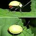Chrysomelid beetle Nr 8