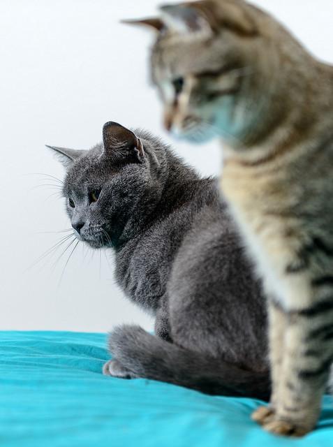 Cartujo, gato azul de ojos cobre tímido y juguetón esterilizado, nacido en Febrero´14, en adopción. Valencia. ADOPTADO. 27337538117_43f483c4b1_z