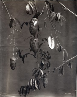 Felix Morin - Soursop Fruit, ca 1880 | by The Caribbean Photo Archive