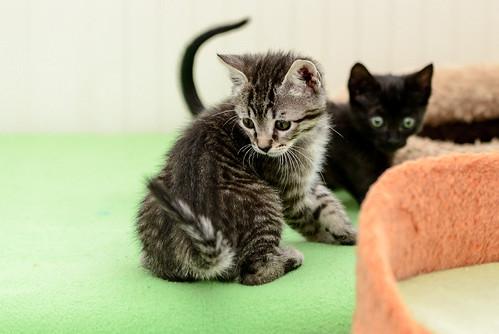 Bonnie, gatita parda monísima y muy lista esterilizada, nacida en Marzo´18, en adopción. Valencia. 42208478381_51d3136302