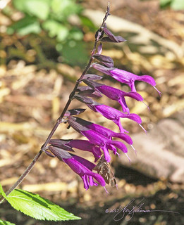 Salvia 'Amistad' | by Sheri L. Williamson