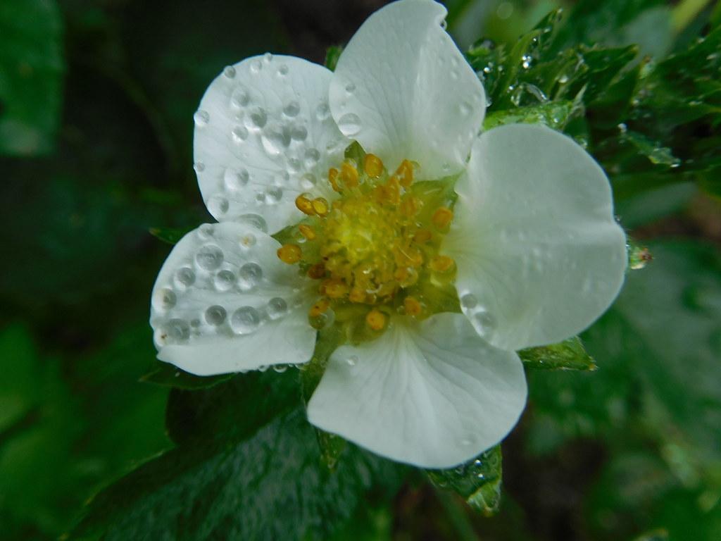 Fleur De Fraisier Odette Fromonteil Flickr