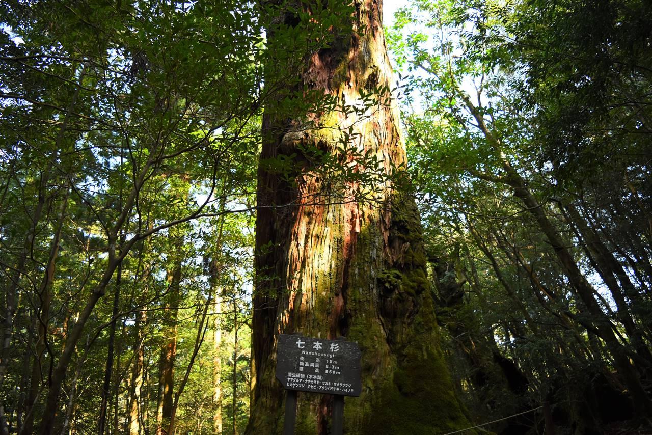 白谷雲水峡・七本杉
