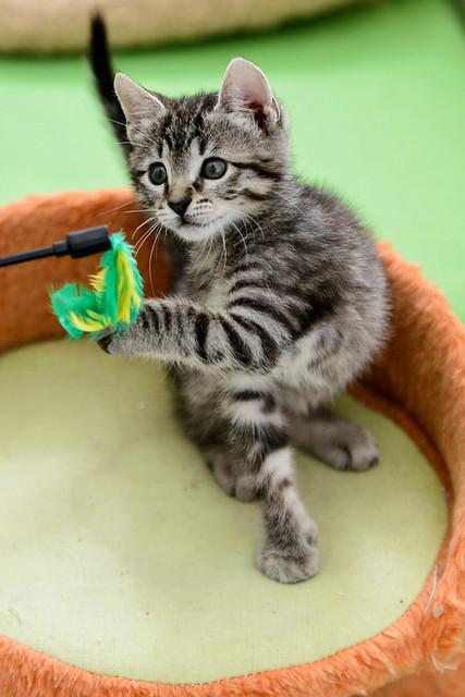 Bonnie, gatita parda monísima y muy lista esterilizada, nacida en Marzo´18, en adopción. Valencia. 41487767484_2f0f102b41_z