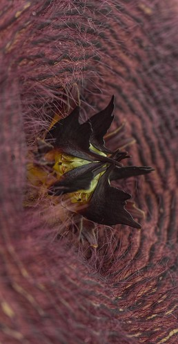 Stapelia 4 | by Don McClane