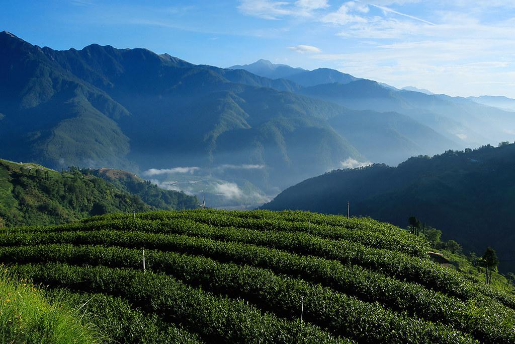 春天到來的甦醒,茶樹綻放出喜悅