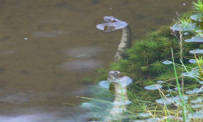 松蘿湖岸白腹游蛇(方穗銓攝)