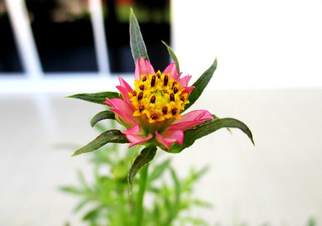 Ulam raja flower, pink 1