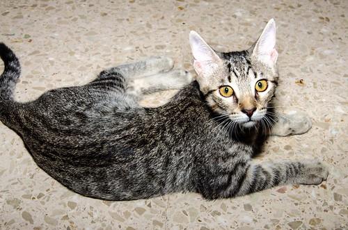 Bonnie, gatita parda monísima y muy lista esterilizada, nacida en Marzo´18, en adopción. Valencia. 42930916014_a684193334