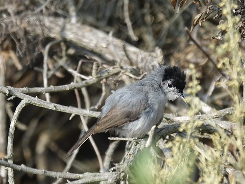 California gnatcatcher | by Mike's Birds
