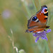 Peacock : Aglais io : Burnet moth