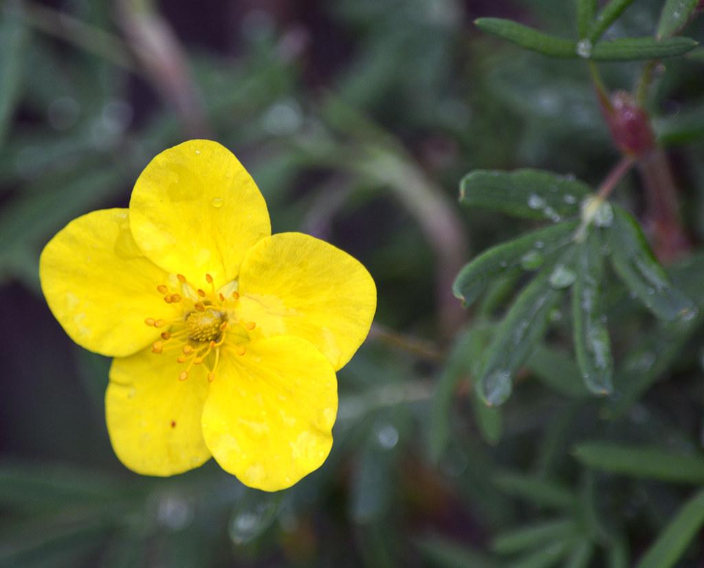 Tundra Rose Or Cinquefoil Nps Photokatherine Belcher Flickr