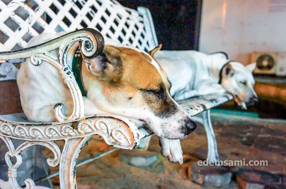 Собаки в Паттайе