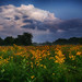 Dusk Over The Meadow