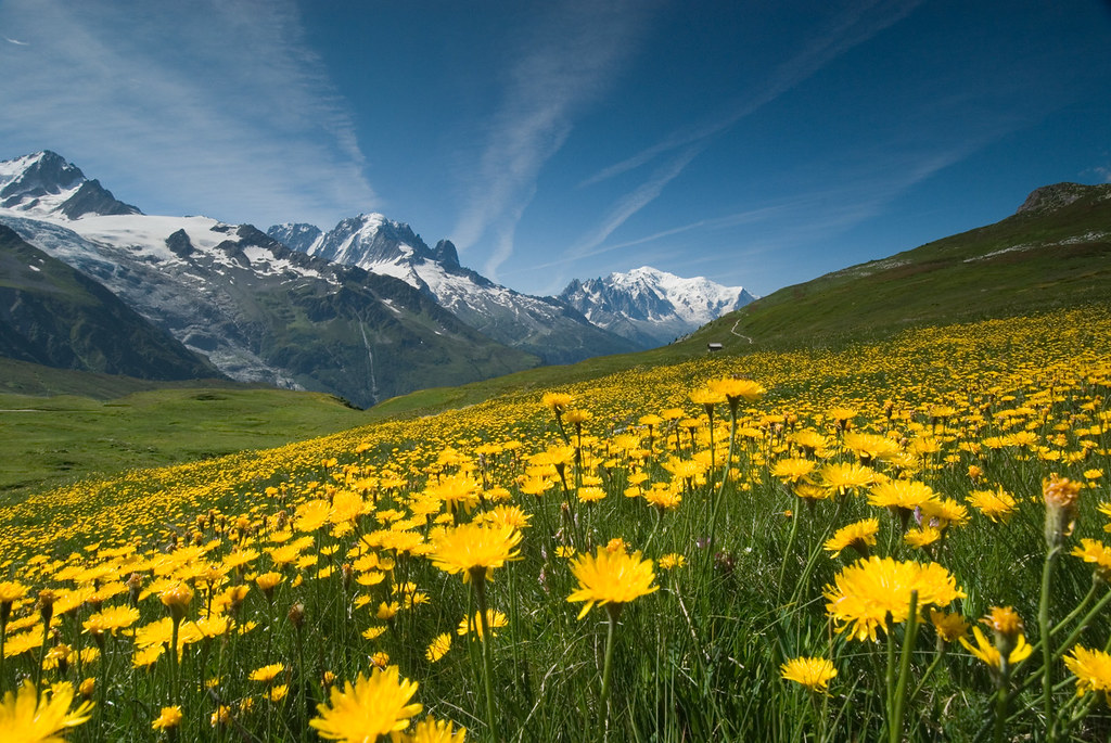 Meadow of yellow flowers and mountains took this photo for flickr meadow of yellow flowers and mountains by oneeighteen mightylinksfo