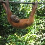 Orangutan @ Sepilok, Sabah, Malaysia