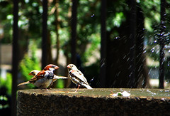 Douching Sparrows by Hamed Saber