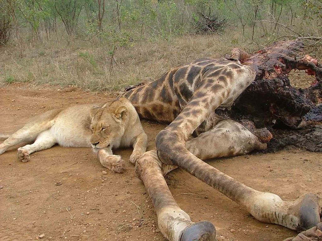 kruger park map with 237709258 on Kruger National Park additionally ki e likewise Malaria Risk Areas together with Vereeniging furthermore 5220865561.