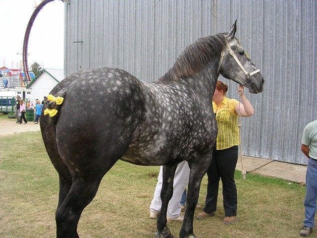 Heavy Horse - Percheron  My, What A Big Butt You Have