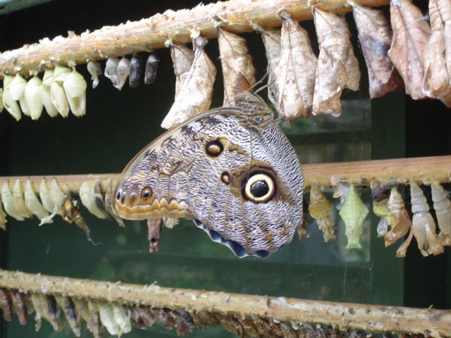 New Year Resolutions: An emerging butterfly at Buckfast Butterflies
