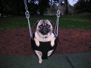 Pug on a Swing! | by Dunechaser