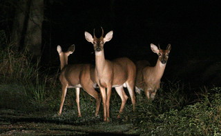 Deer in the headlights | by T Hall