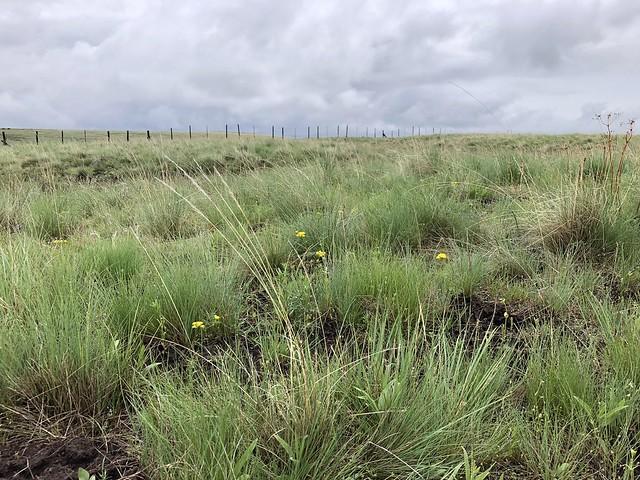 Native forage on Lightning Creek Ranch