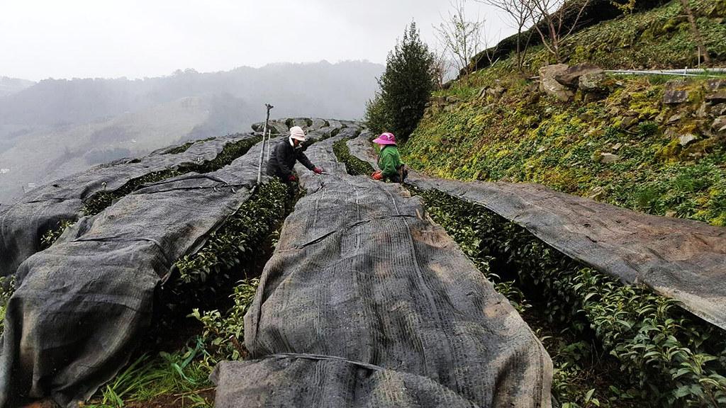 種植在梨山 2000 米的茶樹,面對著北方的雪山山脈
