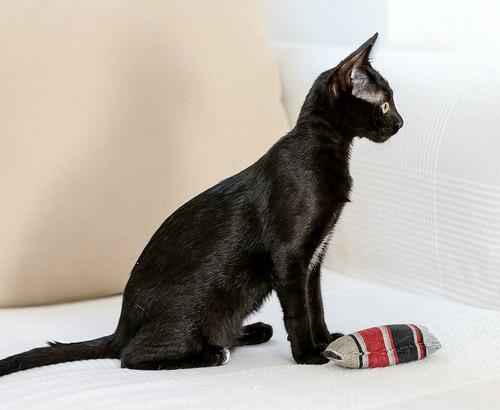 Bombón, gatita negra monísima y dulce esterilizada, nacida en Marzo´18 en adopción. Valencia. RESERVADA. 42727280784_6168741ca3