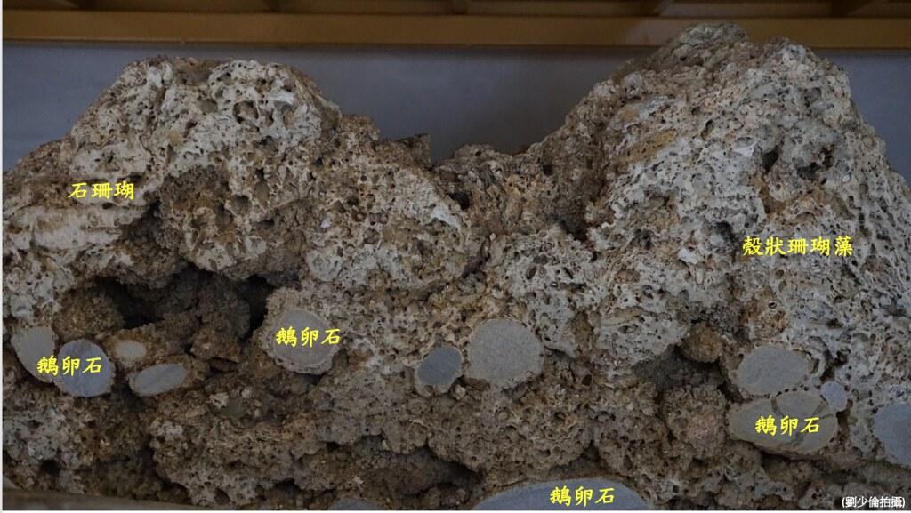 典藏於台中科博館的藻礁礁體剖面圖(劉少倫 攝)
