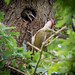 Green woodpecker with young