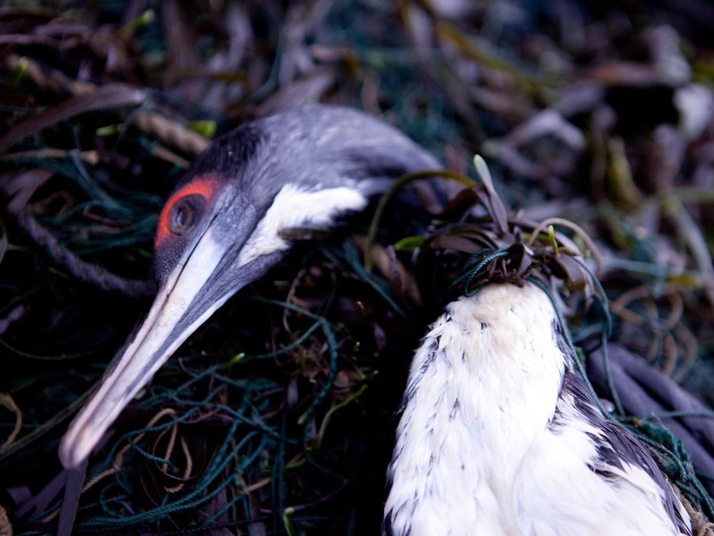 遭漁網纏住的Guanay cormorant。圖片來源:Andrew F Johnson