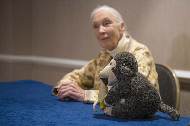 Jane Goodall sits at a table with a stuffed monkey