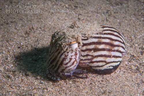 Pyjama squid by day | by Nicolas & Léna REMY
