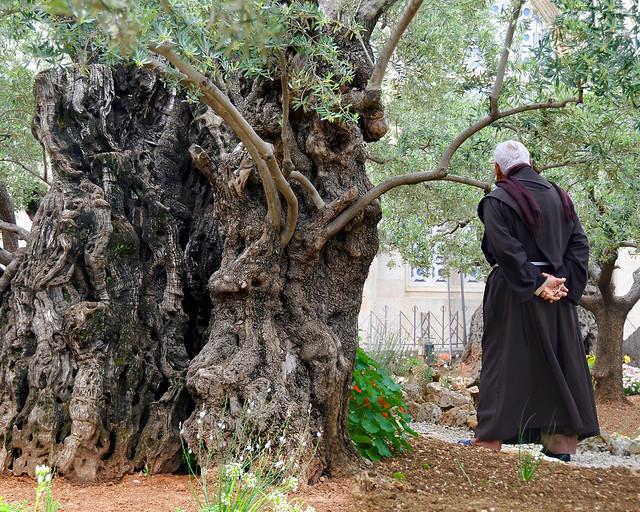 Olivos del huerto de los olivos de Jerusalén
